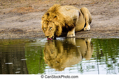 Male lion drinking reflection - A reflection of a male lion...