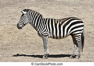 Grants Zebra (Equus burchelli boehmi) - Grants Zebra resting...