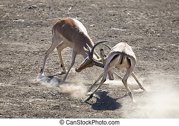 Two impala male fight on dusty and dry sand