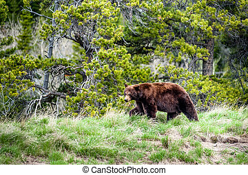Grizzly bear encounter 2 - encounter with a grizzly bear...