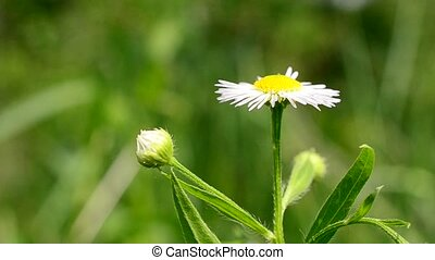 Beautiful daisy flower with insects flying behind it