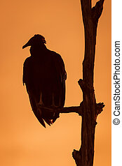 Black Vulture Roosting in a Tree at Sunset - Florida - Black...