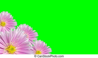 Seamless violet floral background loop on green screen -...