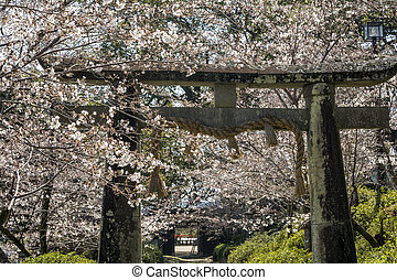 Shinto shrine gate surrounded by yoshino cherry blossom in...