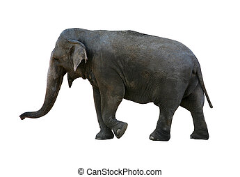 elephant with clipping path - Real elephant isolated on...