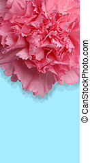 Carnation flower with path - Beautiful macro of carnation...