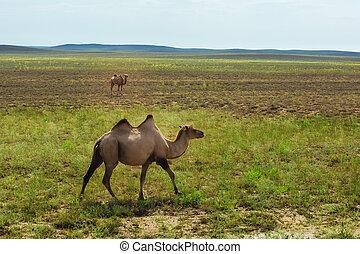 Kazakh camel