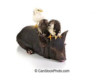 Chicks on pig - Three chicks ontop of a small black pig.
