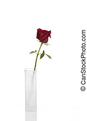 Beautiful red rose in tall white vase, isolated
