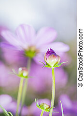 Cosmos flowers bud in the garden Beautiful floral use as...