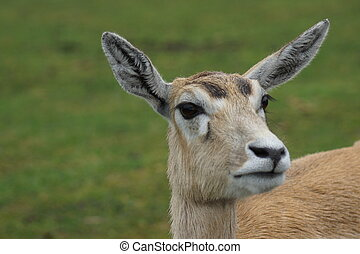 Blackbuck - Antilope cervicapra - An inquisitive small wild...