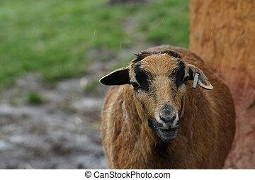 camerounais, mouton, -, ovis, bélier,