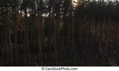 Sunbeams pour through trees in pine forest
