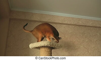 Abyssinian cat playing with ball on the upholstered...