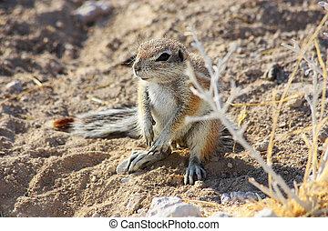 Cape Ground Squirrel (Xerus inauris) - Namibian wild life,...