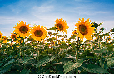 Field of sunflowers under sunset sky