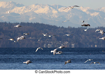 Gulls over Puget Sound
