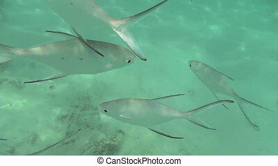 Tropical silvery fishes - Tropical underwater world, Similan...