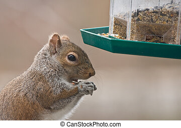 Squirrel and bird feeder - A hungry squirrel steals food...