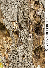 numerous woodpecker holes - numerous holes in an old tree...