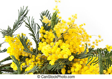 Mimosa Branches - Mimosa branches closeup over white...