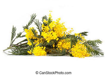 Branches Of Mimosa In Bloom - Branches of mimosa tree in...