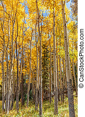 Aspen Grove in Fall - a scenic grove of aspens in fall