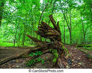 Broken tree roots in Bialowieza primeval forest - Broken...