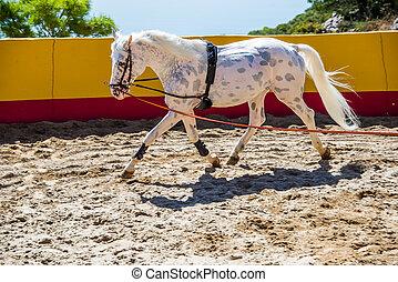 Thoroughbred spanish horse