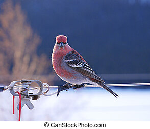 stunning close-up of red male pine grosbeak