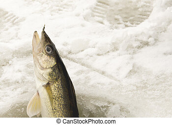 Catching a Walleye Ice Fishing - Walleye being caught while...