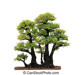 Elm Bonsai Tree - Chinese Elm Bonsai Tree isolated on white...