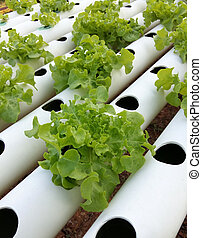 Organic Hydroponic vegetable farm without chemical