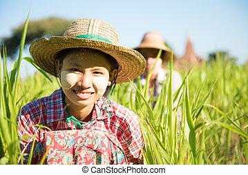 Traditional Myanmar female farmers working in field