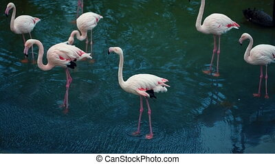 Flamingos Flock In The River - Flamingos Flock In The Lake...