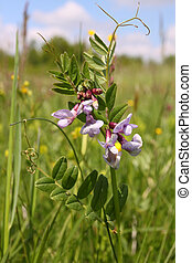 Vicia - Vicia blooming on a wild meadow