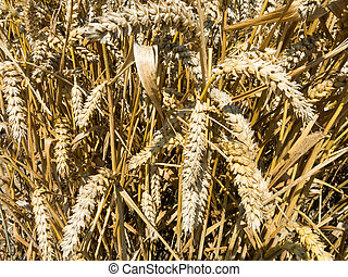 Detail of wheat, Holland