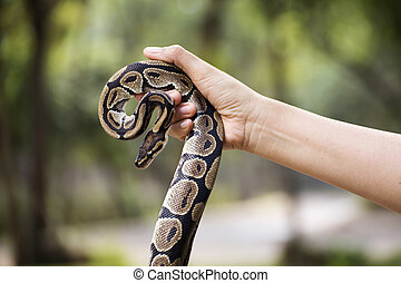 snake in the hands of man - A poisonous snake in the hands...