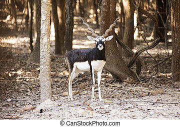 Black buck - Portrait of a Black buck in the zoo of Thailand...