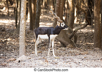 Portrait of a Black buck in the zoo of Thailand