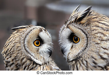 Two Owls - Two Boreal Owls. In Europe, they are typically...