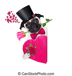 valentines love sick dog - pug dog looking and staring at...