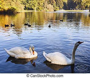 Pair of swans - Graceful pair of swans