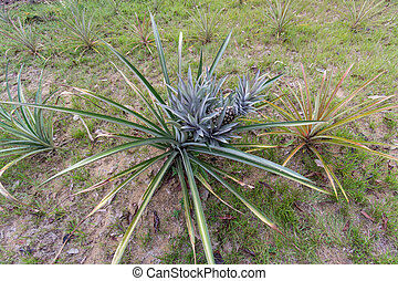 pineapple plant - detailed view of pineapple plant, top view