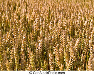 Yellow ripe wheat grain in a field