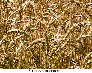 Golden ripe wheat grain