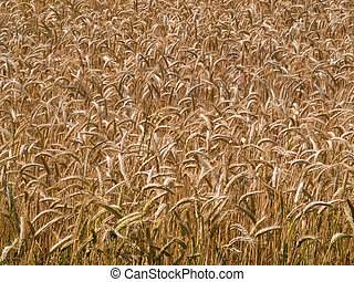 Wheat grain field summer background - Wheat grain field...