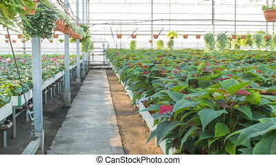 Plant rows in the greenhouse. - Greenhouse interior....
