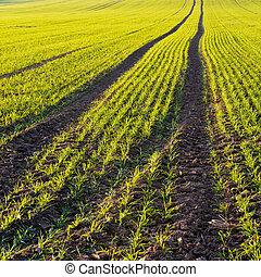 Autumn field. Winter-crop