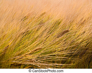 Wheat grain field in the wind